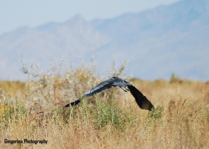 blue heron z1