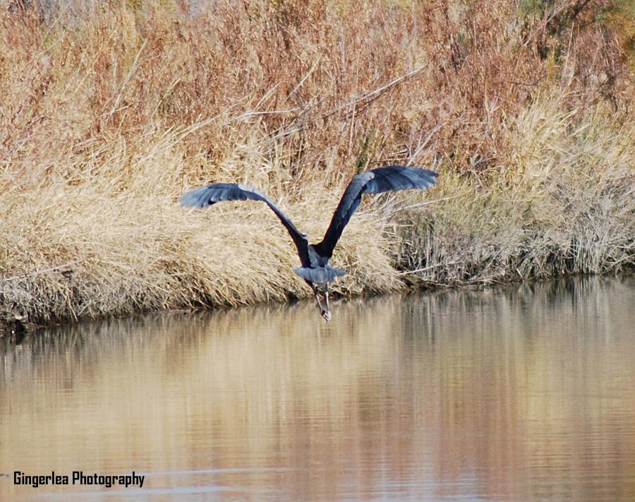 blue heron z2