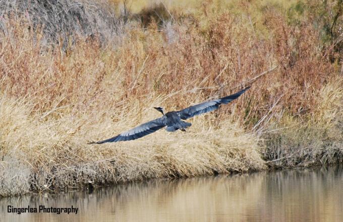 blue heron z3