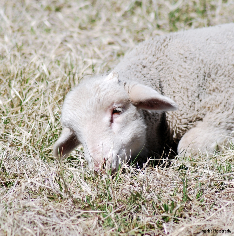 sleepy little lamb